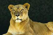 picture of lioness  - Strong portrait of a female lion or lioness looking calmly towards the viewer on a warm early morning day - JPG