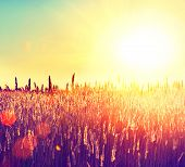 Field. Beautiful Nature Sunset Landscape. Sun. Rural Landscape under Shining Sunlight