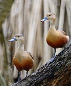 stock photo of ducks  - Beautiful red duck Lesser Whistling - JPG