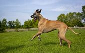 pic of great dane  - Great Dane striding across field to the left - JPG