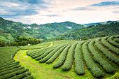 pic of cameron highland  - Natural landscape of tea plantation on the mountain in Chiangrai province Thailand - JPG