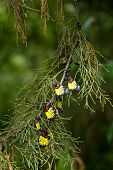 stock photo of cocoon tree  - A group of beautiful butterfly on pine tree - JPG