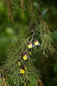 picture of cocoon tree  - A group of beautiful butterfly on pine tree - JPG