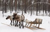 foto of sleigh ride  - Team of three reindeer and sleigh for a ride in the winter forest - JPG