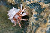 stock photo of crab  - Closeup hermit crab on reef during low tide - JPG