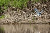 picture of off-shore  - A grey heron takes off from the shore of the river - JPG