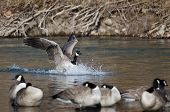 pic of canada goose  - Canada Goose Landing In a Winter River - JPG