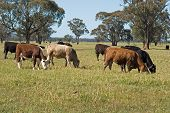 stock photo of cattle breeding  - a mob of cattle grazing in a lush grass pasture with trees and blue sky - JPG