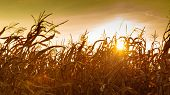 foto of corn stalk  - Dry corn field at the beautiful yellow sunset. Autumnal landscape.