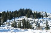 picture of conifers  - Snowy mountain rock ridge with forest of conifers in sunny winter day - JPG