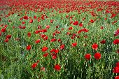 image of impressionist  - colorful red poppy flowers in the meadow in beautiful impressionistic light - JPG