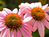 Cone Flower, Also Known As Echinacea, In A Garden poster