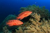 pic of grouper  - Coral Grouper fish - JPG