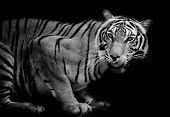 image of sundarbans  - Tiger look animal wildlife black color background - JPG