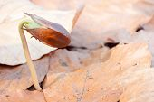 pic of beechnut  - close up germinated beechnuts in beech leaves - JPG