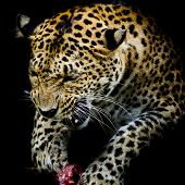 picture of sundarbans  - Leopard portrait animal wildlife nature color black background - JPG