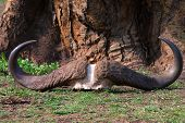 picture of cow skeleton  - Skull and horns of dead buffalo is lying on the ground - JPG