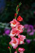 image of gladiolus  - Red gladiolus - JPG