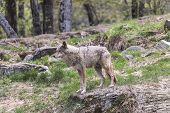 image of coy  - A lone coyote in a summer scene - JPG