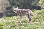 foto of coy  - A lone coyote in a summer scene  - JPG