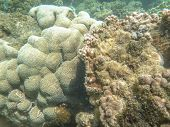 picture of damselfish  - The Corals  - JPG