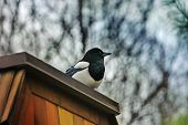 picture of robin bird  - robin bird on the wooden roof with more colour version - JPG