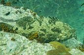 image of grouper  - Underwater photography of a grouper on a rock - JPG