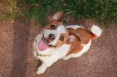 image of jack russell terrier  - Dog Jack Russell Terrier walking outside in spring - JPG