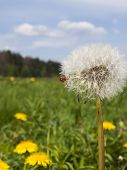 picture of dandelion  - small spider and dandelion meadow in May flowering yellow dandelions full as the background - JPG