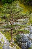 pic of pinus  - Pinus nigra banatica on mountains peak in Romania - JPG