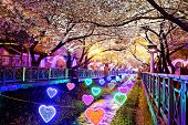 picture of night-blooming  - cherry blossoms at night - JPG