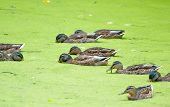 pic of scum  - Ducks looking for food in the overgrown pond - JPG