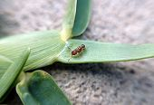 picture of ant  - Ant at the top of a blade of grass looked like downloading it - JPG