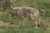 foto of coy  - A lone Coyote in a forest environment - JPG