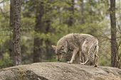 picture of coy  - A lone Coyote in a forest environment - JPG