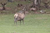 foto of jousting  - A lone male deer in a field, feeding.