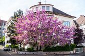 stock photo of judas tree  - Judas Tree in purple bloom in front of a house residence - JPG