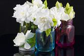 stock photo of gardenia  - Bouquet of fresh White Gardenias placed in small red green and blue mason jars on white or black background as a decoration for a table - JPG