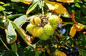 picture of chestnut horse  - Horse chestnut conkers in pods growing on the tree - JPG