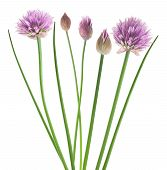picture of chive  - Chives with Flowers isolated on white background - JPG