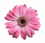 foto of gerbera daisy  - Pink gerbera daisy isolated on a white - JPG