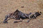stock photo of wildebeest  - dead wildebeest devoured by Lions in the African savanna - JPG