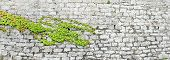 pic of ivy  - beautiful green ivy on ancient castle stone wall - JPG