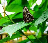 foto of butterfly-bush  - Close up of morpho peleides butterfly - JPG