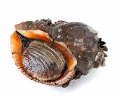 picture of mollusca  - Rapana isolated on white background - JPG