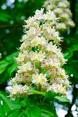 image of chestnut horse  - Blooming beautiful horse chestnut blossoms in springtime - JPG