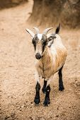 stock photo of billy goat  - A brown and white young pygmy goat stand in her pen looking towards the camera - JPG