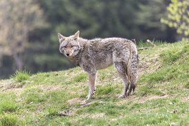 picture of coyote  - A lone coyote in a rocky - JPG