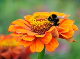 foto of zinnias  - Bumblebee on the orange flower of zinnia - JPG
