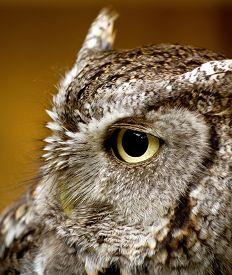 image of screech-owl  - A side profile of an Eastern Screech owl - JPG